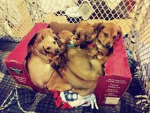 10 puppies for sale!!! in Fort Leavenworth, Kansas