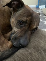 Beautiful brown tiger stripes dog FREE, great guard dog(saved my daughters life) in Travis AFB, California