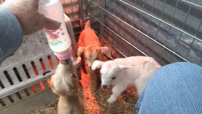 Baby goats in Cleveland, Texas