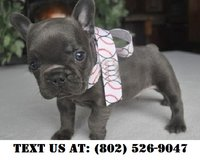 Keen French Bulldog Puppies for Adoptions in Dover AFB, Delaware