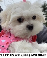Knowledgeable Maltese Puppies for Adoptions in Dover AFB, Delaware