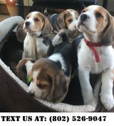 Lively Beagle Puppies for Adoptions in Dover AFB, Delaware