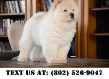 Lovely Chow Chow Puppies for Adoptions in Dover AFB, Delaware