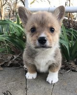 Dear Pembroke Welsh Corgi Puppies for Adoptions in Chicago, Illinois