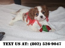 Divine Cavalier King Charles Puppies for Adoptions in Chicago, Illinois