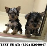 Dauntless Yorkshire terrier Puppies for Adoptions in Chicago, Illinois