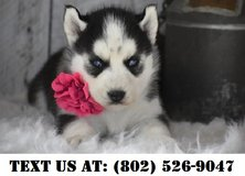 Delightful Siberian Husky Puppies for Adoptions in Chicago, Illinois