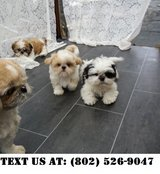 Dazzling Shih Tzu Puppies for Adoptions in Chicago, Illinois
