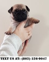 Delectable Pug puppies for Adoptions in Chicago, Illinois
