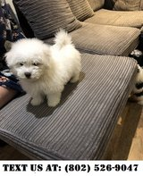 Deserving Bichon Frise Puppies for Adoptions in Chicago, Illinois