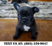 Dynamic French Bulldog Puppies for Adoptions in Chicago, Illinois