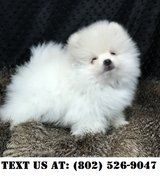 Enthusiastic Pomeranian Puppies for Adoptions in Chicago, Illinois