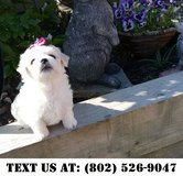Fascinating Maltese Puppies for Adoptions in Chicago, Illinois
