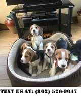 Energetic Beagle Puppies for Adoptions in Chicago, Illinois