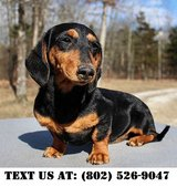Extraordinary Dachshund Puppies for Adoptions in Chicago, Illinois