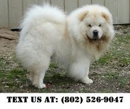 Elegant Chow Chow Puppies for Adoptions in Chicago, Illinois