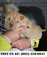 Exceptional Chinese Shar-Pei Puppies for Adoptions in Chicago, Illinois