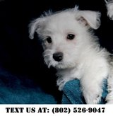 Easygoing West Highland White Terrier Puppies for Adoptions in Chicago, Illinois