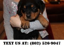 Emotional Rottweiler Puppies for Adoptions in Chicago, Illinois