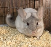 5 Month Old Pink White Male Chinchilla -- super energetic! in Chicago, Illinois