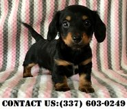 Strong Dachshund Puppies for Adoption in Quantico, Virginia
