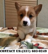 Outstanding Pembroke Welsh Corgi Puppies for Adoption in Dover AFB, Delaware