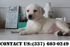 Outstanding Labrador Retrievers Puppies for Adoption in Dover AFB, Delaware