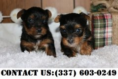 Outstanding Yorkshire terrier Puppies for Adoption in Dover AFB, Delaware