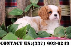 Outstanding Cavalier King Charles Puppies for Adoption in Dover AFB, Delaware