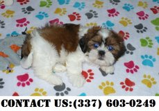 Neoteric Shih Tzu Puppies for Adoption in Dover AFB, Delaware