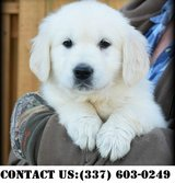 Neoteric Golden Retriever Puppies for Adoption in Dover AFB, Delaware