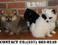 Noble Pomeranian Puppies for Adoption in Dover AFB, Delaware