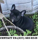 Neoteric French Bulldog Puppies for Adoption in Dover AFB, Delaware