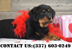 Noble Rottweiler Puppies for Adoption in Dover AFB, Delaware