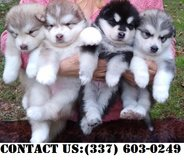 Passionate Alaskan Malamute Puppies for Adoption in Dover AFB, Delaware