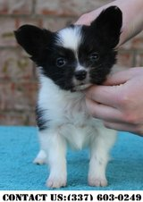 Persuasive Papillon Puppies for Adoption in Dover AFB, Delaware