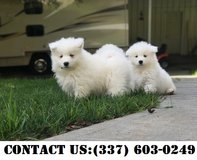 Sensuous Samoyed Puppies for Adoption in Spring, Texas