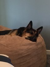 4 YEAR OLD MALE NEUTERED AKC GERMAN SHEPHARD in Quantico, Virginia
