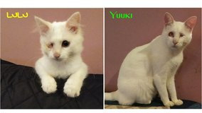 A pair of very special rescue cats need a home in Okinawa, Japan