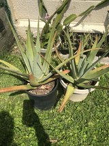 S & L Aloe plants in Okinawa, Japan