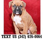 Accepting Boxer Puppies puppies for adoption in Chicago, Illinois