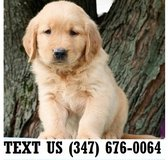 Accepting Golden Retriever  puppies for adoption in Chicago, Illinois
