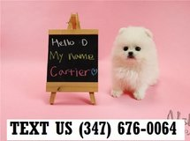 Accepting Pomeranian  puppies for adoption in Chicago, Illinois