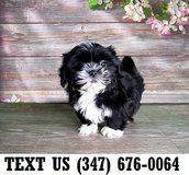 Accepting Shih Tzu puppies for adoption in Chicago, Illinois