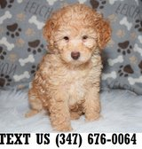 Accepting  Poodle puppies for adoption in Chicago, Illinois