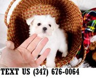 Accepting  Maltese puppies for adoption in Chicago, Illinois