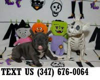 Accepting French Bulldog puppies for adoption in Chicago, Illinois