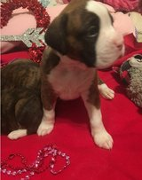 Sweet Boxer pups..FOR MORE INFO TEXT OR CALL (801) 829-1836 in Chicago, Illinois