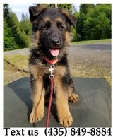 Boomer German Shepherd Puppies For Adoption, For Info Text at (435) 849-8884 in Belleville, Illinois