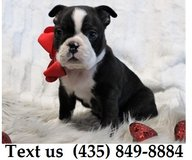 Boomer Boston Terrier Puppies For Adoption, For Info Text at (435) 849-8884 in Belleville, Illinois